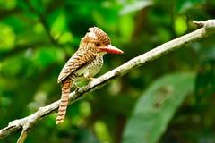 kingfisher Стоковые Изображения RF