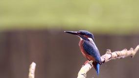 kingfisher almacen de video