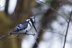 kingfisher Fotos de archivo libres de regalías