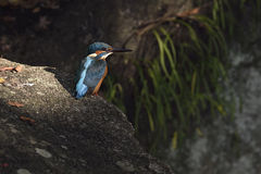 kingfisher Stockfotos