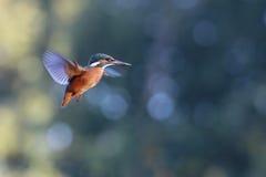 kingfisher стоковое фото