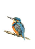The Kingfisher. Hand drawn illustration of a kingfisher against a white background. Illustration by marilyna