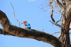 kingfisher Stockfoto