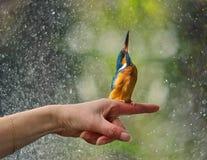 kingfisher Стоковые Фото