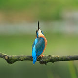 kingfisher Fotografie Stock