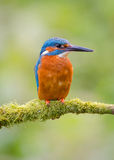 kingfisher imagen de archivo libre de regalías