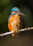 kingfisher Immagine Stock