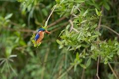 kingfisher Fotografía de archivo libre de regalías