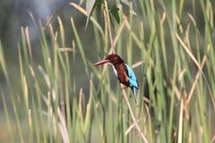 kingfisher Stockfotos