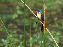 kingfisher Arkivbilder