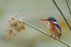 Kingfisher. Malachite Kingfisher on reed : South Africa Stock Image