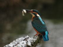 Kingfisher. (Alcedo atthis) with his prey stock photo