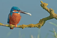 kingfisher Lizenzfreie Stockfotos