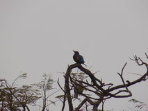 kingfisher Imagens de Stock Royalty Free