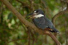 kingfisher royaltyfri fotografi