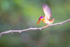 kingfisher Royaltyfri Foto