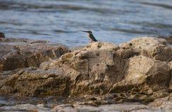 kingfisher Stockbilder