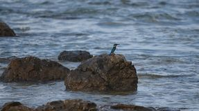kingfisher Lizenzfreies Stockbild