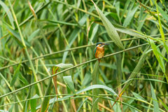 kingfisher Lizenzfreie Stockfotografie