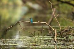kingfisher Stockfotografie