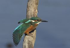 kingfisher Arkivbild