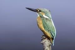 kingfisher Lizenzfreies Stockfoto