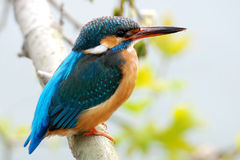Kingfisher. All kingfishers have striking plumage colours Stock Images