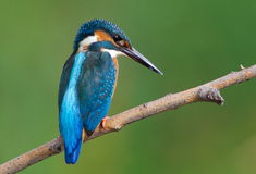 Kingfisher Royalty Free Stock Photography