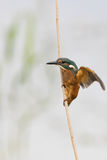 kingfisher Стоковая Фотография