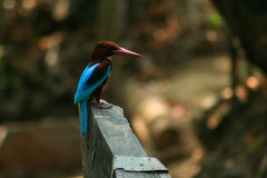 Kingfisher. Bird in Kerala southern India Asia royalty free stock photo