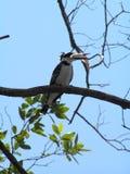 Kingfisher. Africa Mangroven National Park Stock Photo