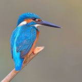 Kingfisher (Alcedo athis) Stock Photo