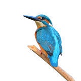 Kingfisher (Alcedo athis) Stock Images