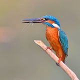 Kingfisher (Alcedo athis) eating shrimp Stock Images