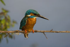 Kingfisher (Alcedo atthis) Royalty Free Stock Image