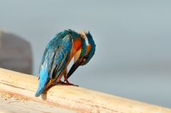 Kingfisher (alcedo atthis) Royalty Free Stock Photo
