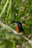 Kingfisher (Alcedo atthis). Perched on a branch looking for fish Royalty Free Stock Photos