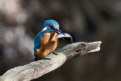 Kingfisher - Alcedo atthis Royalty Free Stock Images