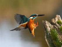 Free Kingfisher, Alcedo Atthis Royalty Free Stock Image - 33102346