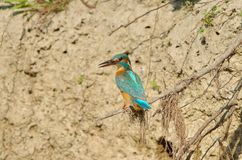 Kingfisher Alcedo atthis stock photography