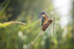 Kingfisher (Alcedo atthis) Stock Photo