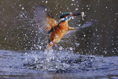 Kingfisher, Alcedo atthis Royalty Free Stock Images