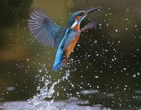 Kingfisher, Alcedo atthis Royalty Free Stock Photo