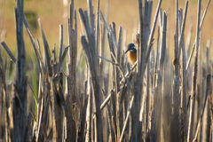 Kingfisher (Alcedo atthis). Hidden Kingfisher waiting for fish Royalty Free Stock Images