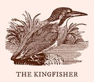 The kingfisher alcedo atthis. Illustration. After a vintage woodcut engraving from the 19th century. Easy editable in layers Royalty Free Stock Photos