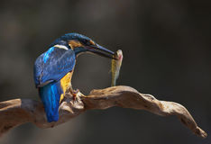 Kingfisher,Alcedo atthis Stock Photo