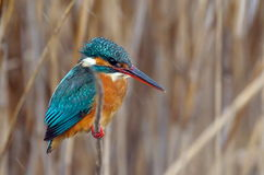 Kingfisher (alcedo atthis) Royalty Free Stock Photography