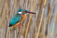 Kingfisher (alcedo atthis) in natural habitat Royalty Free Stock Photography
