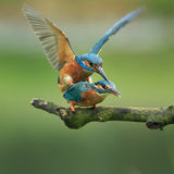 Kingfisher Stock Photo