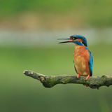 Kingfisher Stock Photography